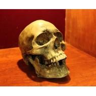Cráneo en resina